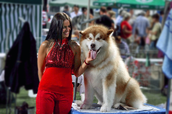 Snowlion's holy moses, red & white alaskan malamutes, purebred malamute puppies, show quality puppies